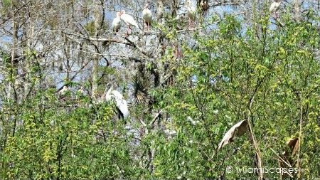 Ibis, egrets, storks on trees on Tamiami Trail