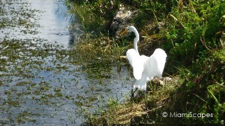 Egret alongside canal on Tamiami Trail