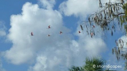 Roseate Spoonbills flying over  tree on Tamiami Trail