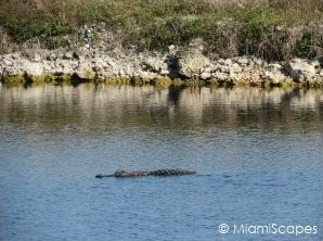 where to see alligators: along canals