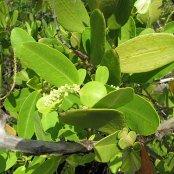 White Mangrove leaves
