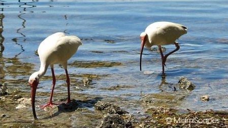 A pair or white ibis at the Sanctuary